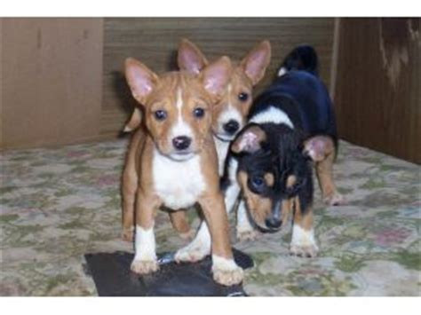 tricolor basenji puppies for sale basenji puppies for sale