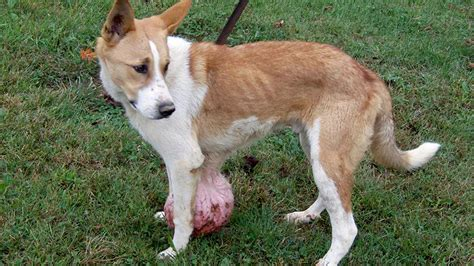 owner tells shelter  euthanize young dog   lb tumor