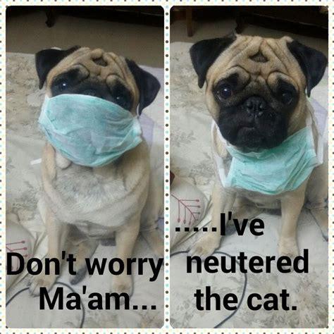 dr who pug dr pug i the pugs