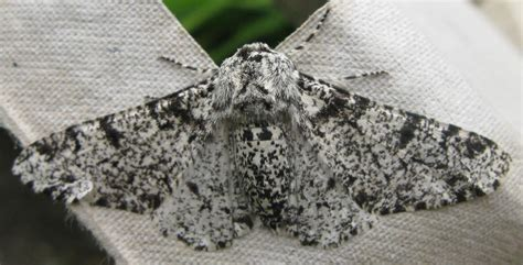 Peppered Moth peppered moth