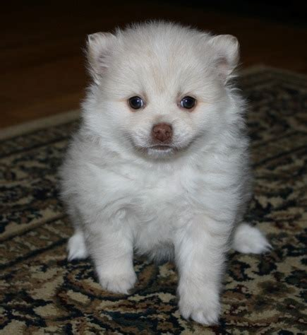 pomeranian for sale albany ny purebred pomeranian puppies available text 443 512 2367 12111 for sale albany pets dogs