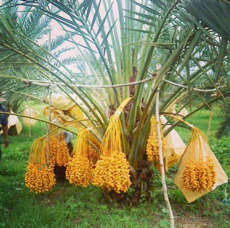 bibit kurma tropis kl1 jaminan berbuah bibit buahku