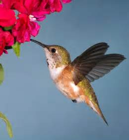 humming bird food what hummingbirds eat humming bird