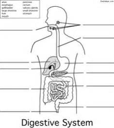 1000  Images About Digestive System On Pinterest Human Body Anatomy sketch template