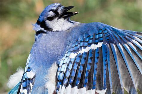 blue jay wings spread a bird s eye view