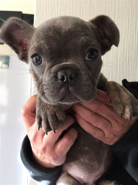 blue fawn bulldog puppies blue fawn bulldog puppies www pixshark images galleries with a bite