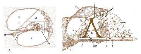 liquido nell orecchio interno orecchio nell enciclopedia treccani