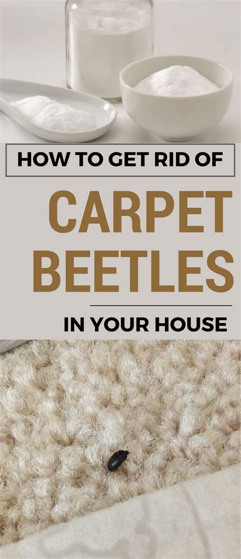 How To Kill Pantry Bugs by How To Get Rid Of Carpet Beetles In Your House