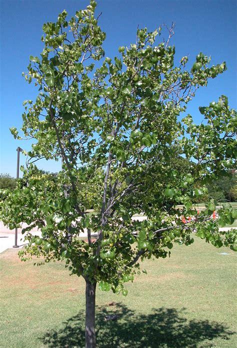 redbud tree redbud tree pics