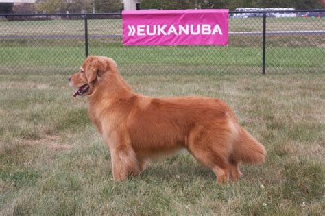 golden retriever national specialty 2016 2015 grca national specialty eureeka goldens