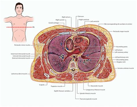 what is a transverse section transverse thorax and heart on behance