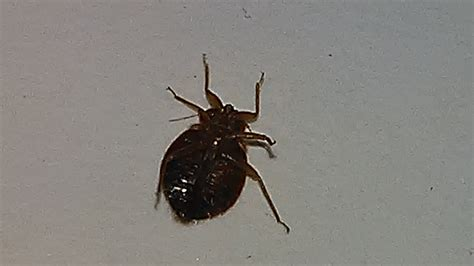 bed bug bed bug close up bed bug treatment site