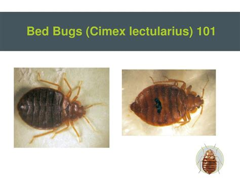 Can Bed Bugs Survive In Water by Ppt Bed Bugs Powerpoint Presentation Id 210718