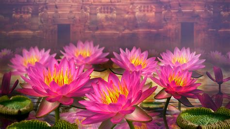 pink lotus flowers wide hd wallpapers hd wallpapers rocks