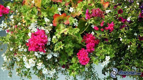 fiori petunie petunia