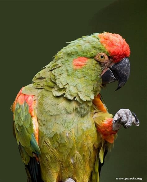 red fronted macaw world parrot trust