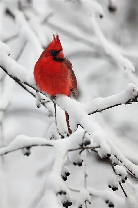 red cardinal pennsylvania home our travels pinterest