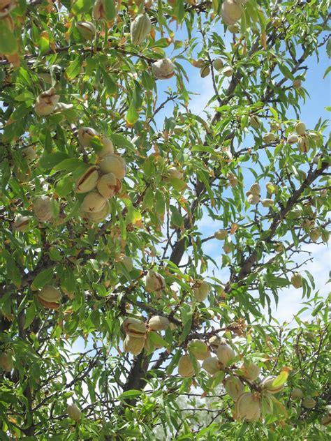 almond fruit tree oldster musings almond tree
