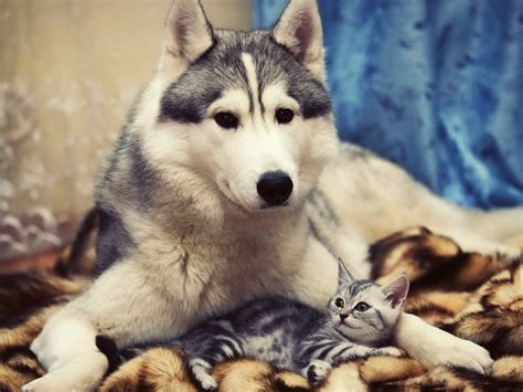 husky puppy care husky photos big puppy and take care of each other 2048x1536 free