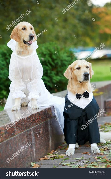 golden retriever clothing two golden retriever dogs wedding clothing sitting outdoors stock photo 85374184