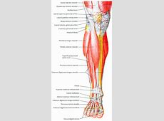 muscles of lower leg - CoreWalking Foot Arch Muscles