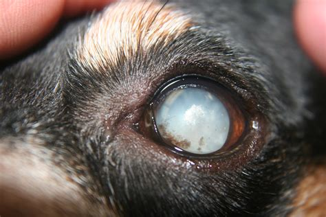 nuclear sclerosis in dogs ophthalmology