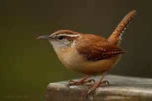 Backyard Birding Magazine carolina wren attracting birds birds and blooms