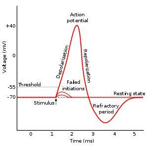 exchange mobile center near me process of hyper polarization to baseline in neuron ap
