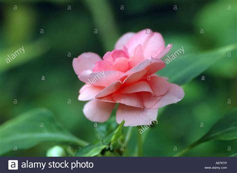 Impatiens Balsamina Limited garden balsam flower impatiens balsamina syn balsamina hortensis stock photo royalty free