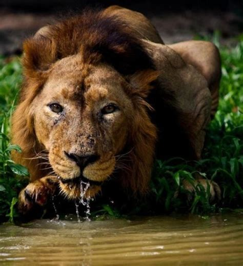 imágenes de leones para whatsapp im 225 genes le 243 n tomando agua 13 4 17