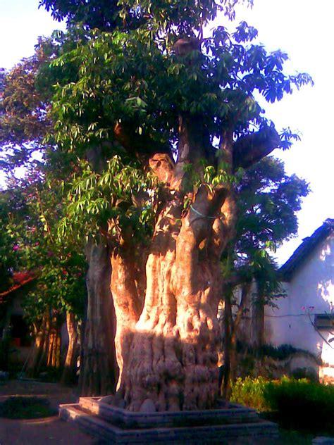 Pohon Kayu Cendana Wangi Ntt 3 Bibit jual pohon pule 3 meter sumba tengah jual bibit tanaman unggulan