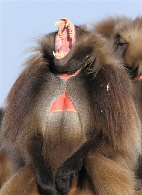 geladas  ethiopia  adam riley focusing  wildlife