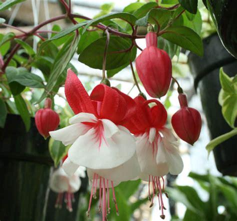 Kalung Gantung Daun Hitam Putih tanaman hias ragam informasi tanaman hias