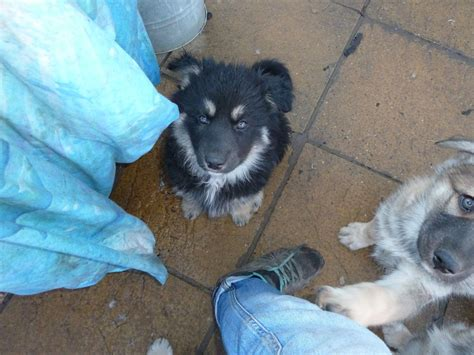 saarloos wolfdog puppies for sale gsd x saarloos wolfdog x husky puppies for sale wisbech cambridgeshire pets4homes