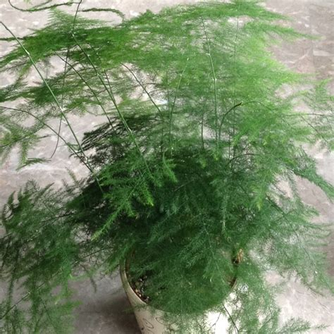 engelshaar pflanze this my asparagus plant plants