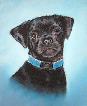 pug labrador cross pug and labrador retriever cross saylor