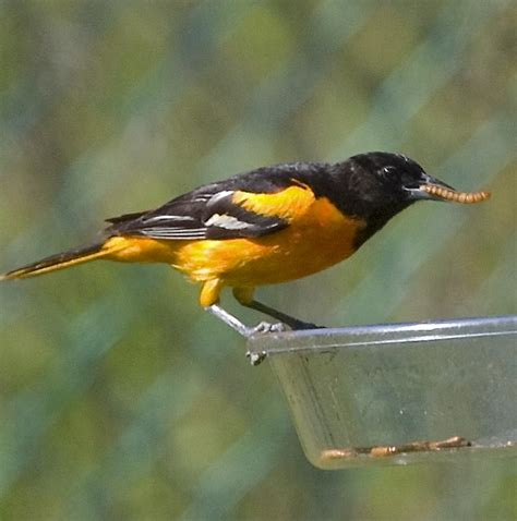 baltimore orioles have arrived in western ny listen2thea
