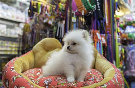 pomeranian personality traits pomeranian personality history and pictures pawculture