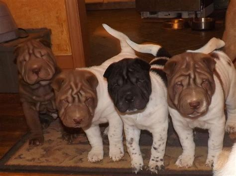 shar pei puppies for sale nc donna morrow is from carolina and breeds shar pei akc proudly supports