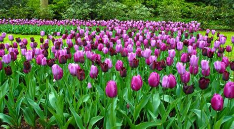 tulip garden state collection black  purple tulips