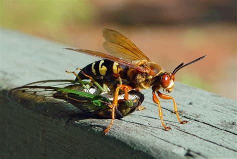 Sprei Borneo real monstrosities cicada killer wasp