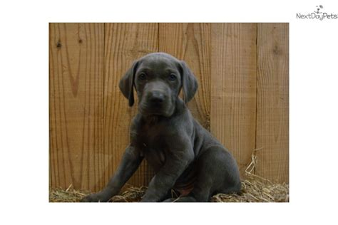 weimaraner puppies for sale in ky adorable akc weimaraner puppies blue weimaraner puppy for sale in bowling