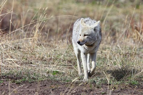tilki 4 resimleri tilki hayvanlar alemi kurt 199 akal tilki resimleri tatlı aşkım