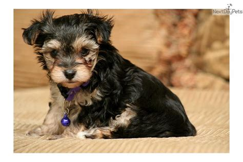 yorkie puppies for sale in sioux city ia morkie yorktese puppy for sale near sioux city iowa eef9a5db 0eb1