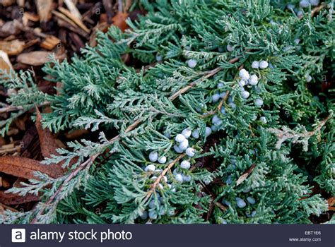 creeping juniper blue rug blue rug juniper creeping juniper juniperus horizontalis glauca stock photo royalty free