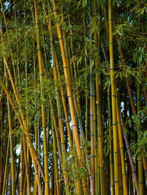 x mas treebamboo buy bamboo trees the tree center