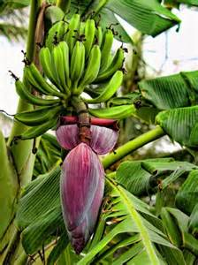 hearts of banana the philippines like a native