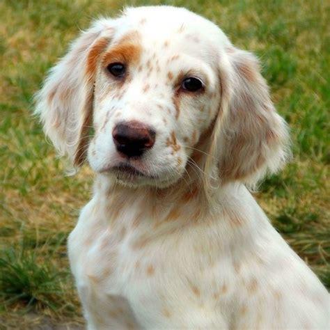 english setter dog 238 best dogs english setter engelse images on pinterest