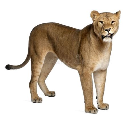full body lioness tattoo lioness panthera leo 3 years old standing stock photo