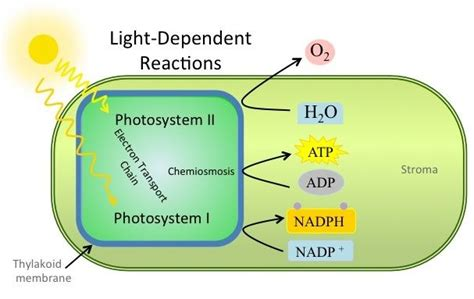 what is the purpose of a light dependent resistor in a circuit 17 best images about biology on redox reactions photosynthesis and search